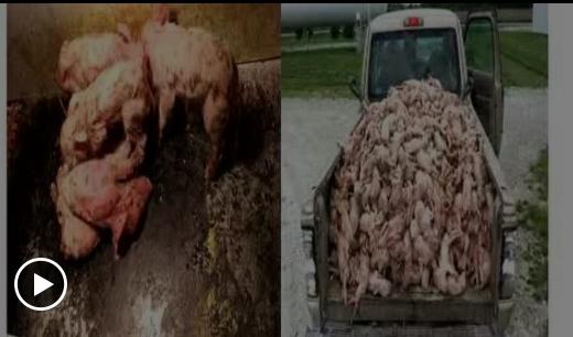 视频丨小猪病毒性腹泻?母猪偶发流产?治疗新方法都在这!【宁波三生·特约】