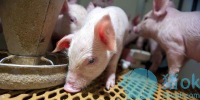 怎样预防断奶仔猪腹泻 断奶仔猪腹泻的治疗
