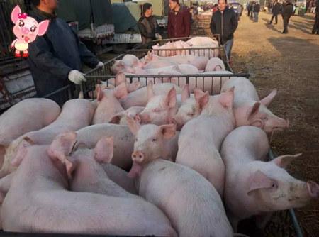 最容易导致仔猪突然伤亡的四种猪病,养殖户得注意了