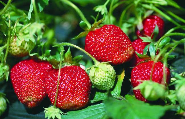 草莓种子_草莓原产南美,为蔷薇科草莓属多年生草本植物,种子没有明显的休眠期