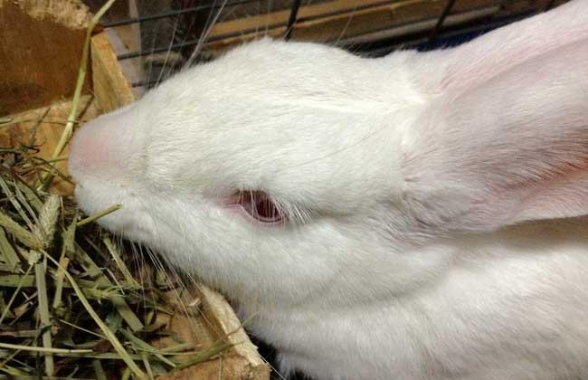 兔子怎么分公母?