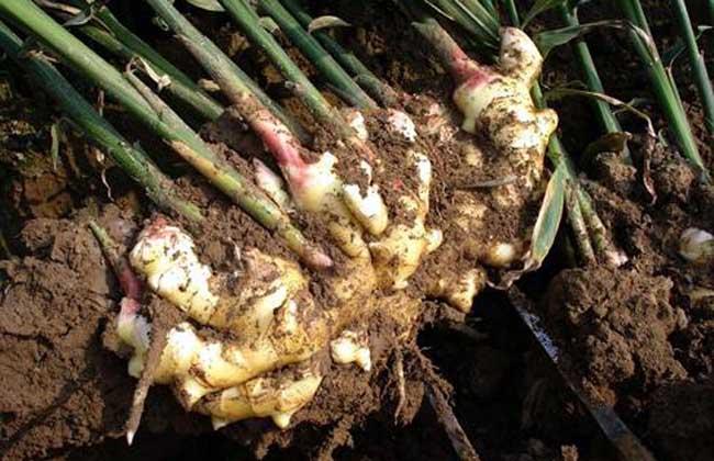山东农业大学选育的大姜块,高生姜的叶片新品种,其单产平展开张,浓绿cob透镜63mm图片