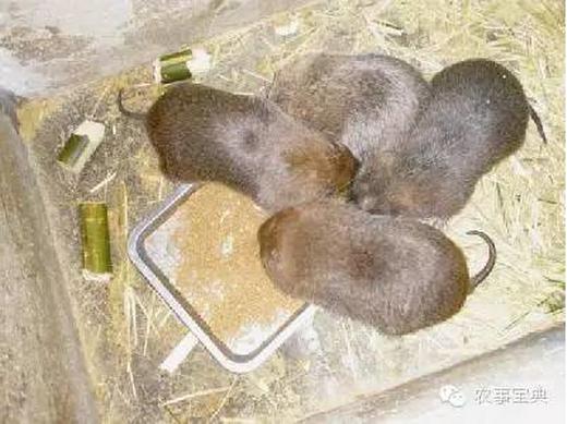 种植竹子技术,养殖竹鼠方法