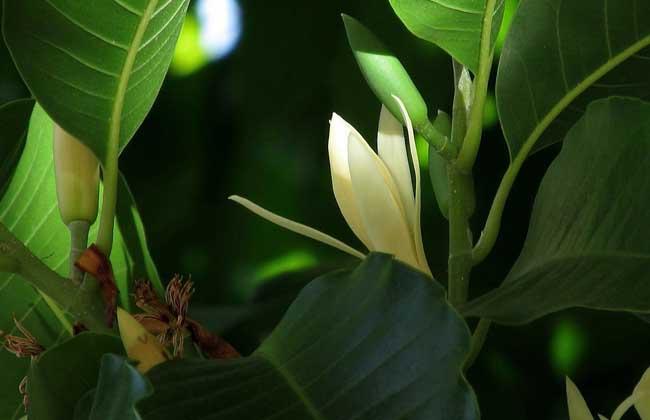 白玉兰种植方法