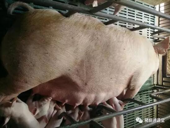 麦麸除了防治猪便秘,在养猪中的更多妙用你未必知道!