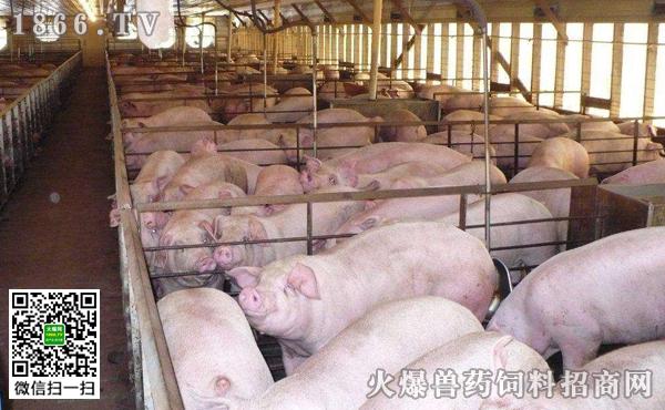 猪圆环病毒怎么治疗,猪圆环病毒预防方法
