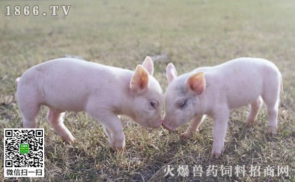 仔猪为什么要断尾?仔猪断尾的方法