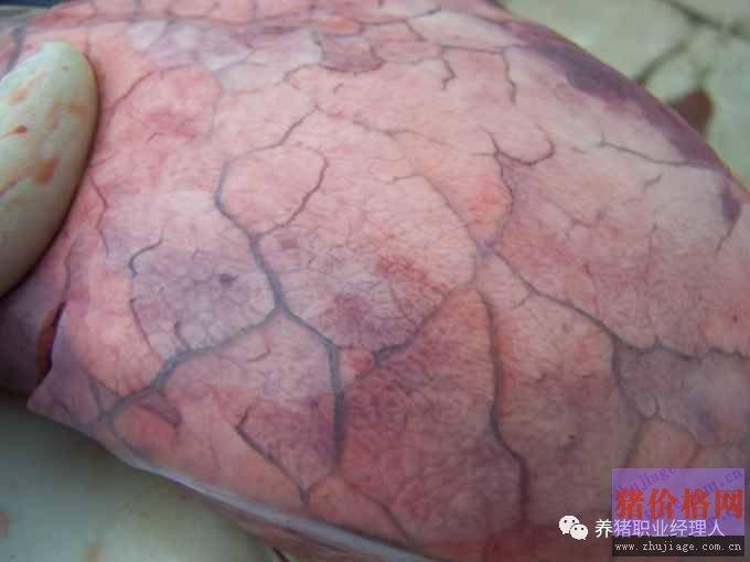 猪肺部大体病变分析与临床初步诊断