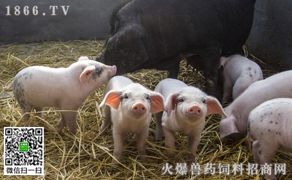 猪皮炎肾病综合征原因,猪皮炎肾病综合征能治好吗?