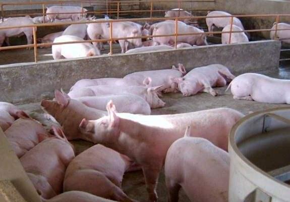 当前生猪养殖处于正常盈利水平,下半年猪价上涨和下跌空间均不大