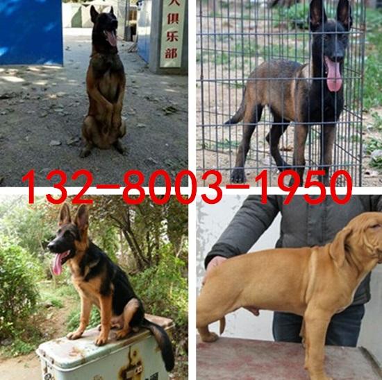巴音郭楞2-3个月杜高犬价格