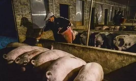 村里的猪场拆迁了……新建给补贴10万元!可不少人却因为没猪粪急坏了