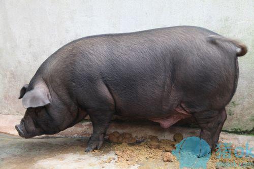 怕猪一样的队�_其中包括在省广播电视台驻和乐扶贫工作队的协调下400头专门扶贫黑猪