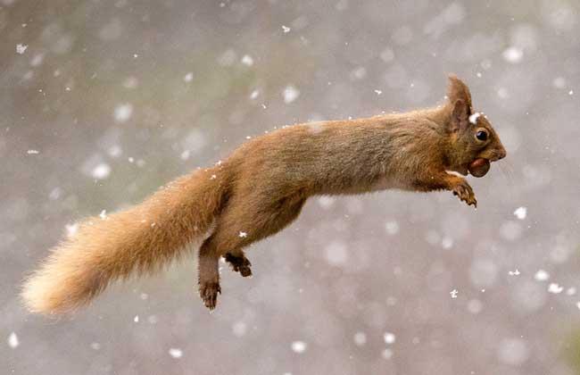 松鼠的尾巴有什么作用图片