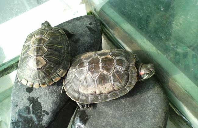 乌龟什么颜色好_什么乌龟最好养又好看?
