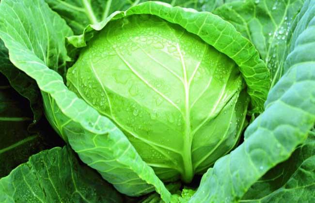 甘蓝种子价格及种植方法图片