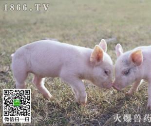 猪增生性肠炎怎么治?猪增生性肠炎用什么药?