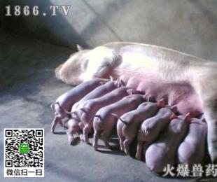 母猪产后败血症是怎么回事?母猪产后败血症怎么治疗