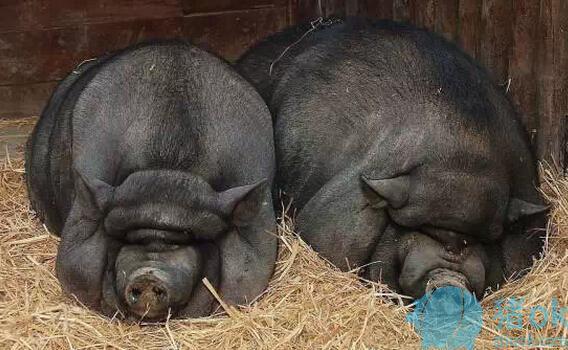 猪脓肿这个问题该怎么处理