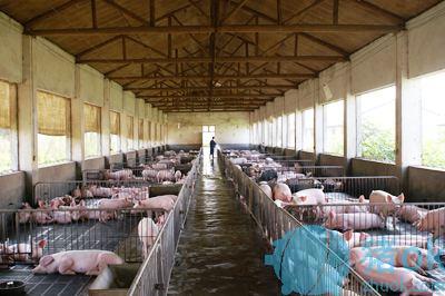 养猪场影响 生活饮用水?