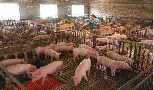 2017年养猪补贴新政策,最高可以获得80万!
