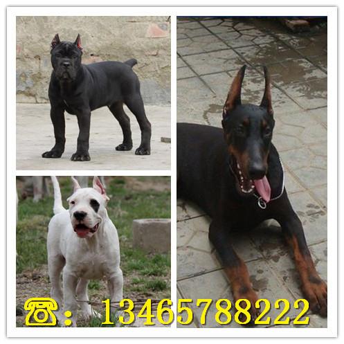 中华黑狼犬幼犬养殖场在什么地方巴音郭楞黑狼犬养殖场