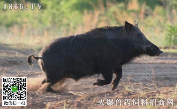 特种野猪冬季管理,野猪冬季饲养管理