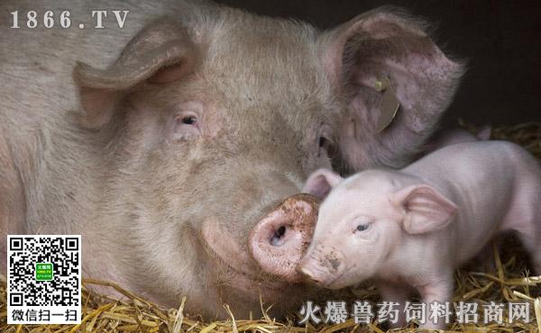 猪喘气病的危害有哪些?猪喘气病如何防治?