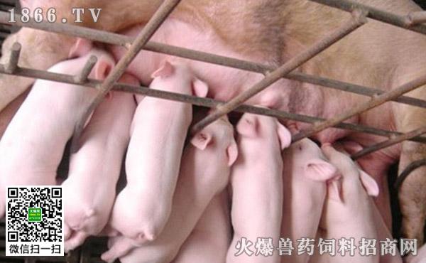 造成母猪空怀的原因?母猪空怀怎么鉴别?