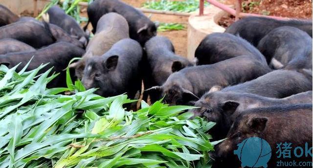 放养地方黑猪寄生虫病综合防控技术