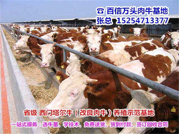 巴音郭楞优质肉牛犊价格