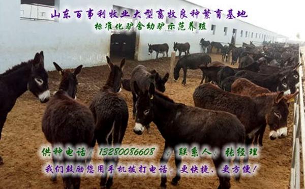 新疆巴音郭楞大型肉驴养殖场