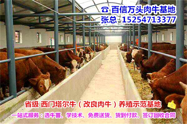 瑞安哪里有鲁西黄牛养殖场