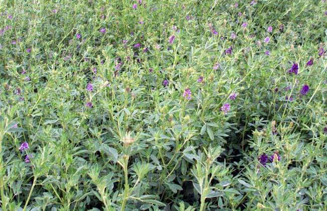紫苜蓿种子价格