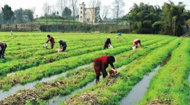 水稻收割后种什么好?菌稻轮作效益高