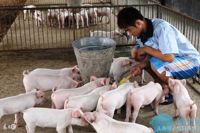 秋季气温骤降 养猪户养猪须留意六大问题
