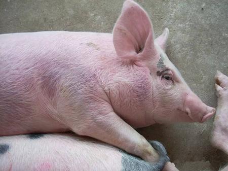 猪周身部位都发紫了,养殖户该怎么做?