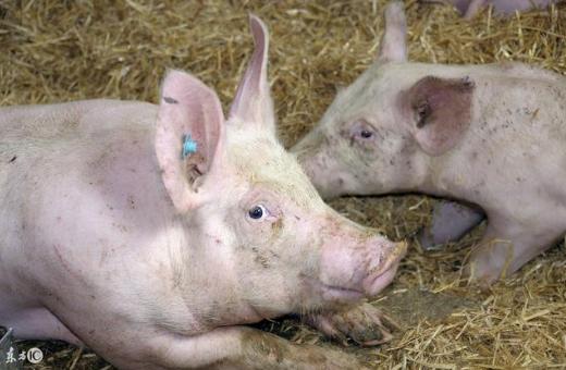 养殖户常见到的病症:猪传染性胸膜肺炎