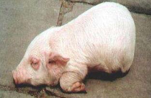 猪水肿病的症状与防治!