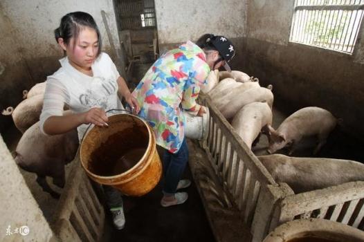 猪催肥应该喂什么料!
