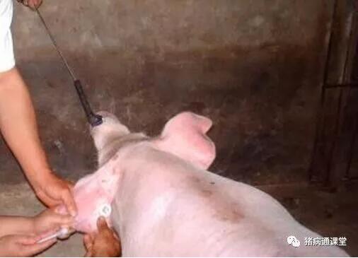 如何规避注射治疗引起的猪急性死亡