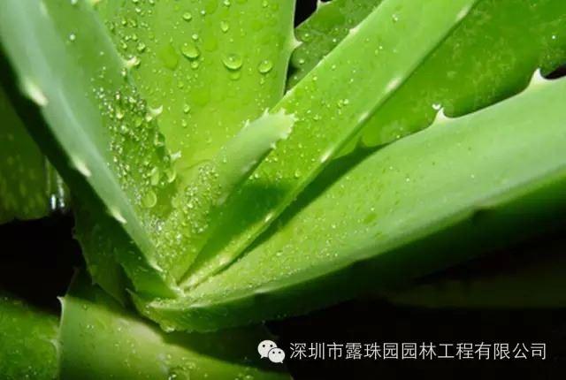 芦荟的养殖方法&#160盆栽芦荟的养殖方法