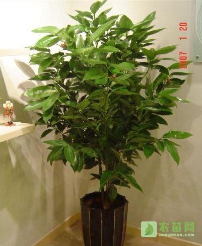 平安树的作用及花语