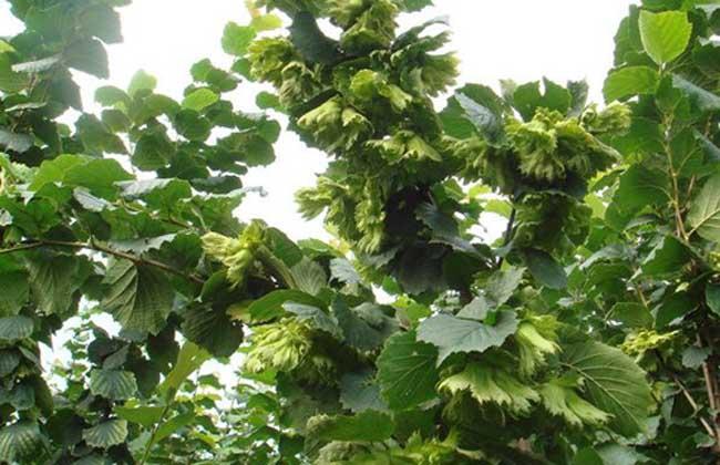 黑礹/&�yi)_大榛子苗价格及种植方法