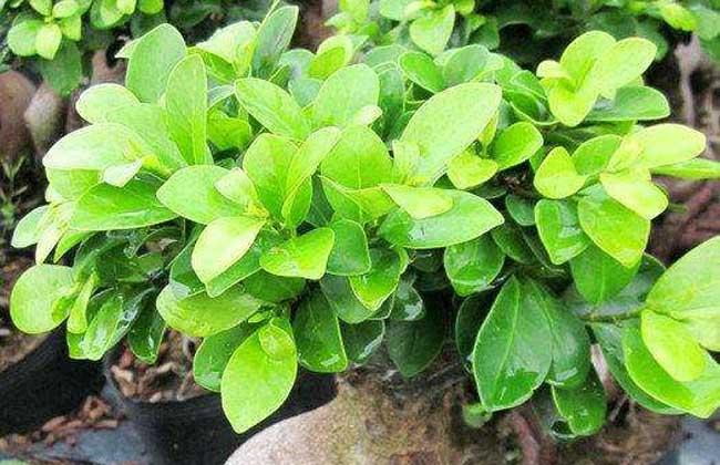 普通榕树的种子一般20~30元左右一斤,小叶榕的种子50~80元左右一斤图片