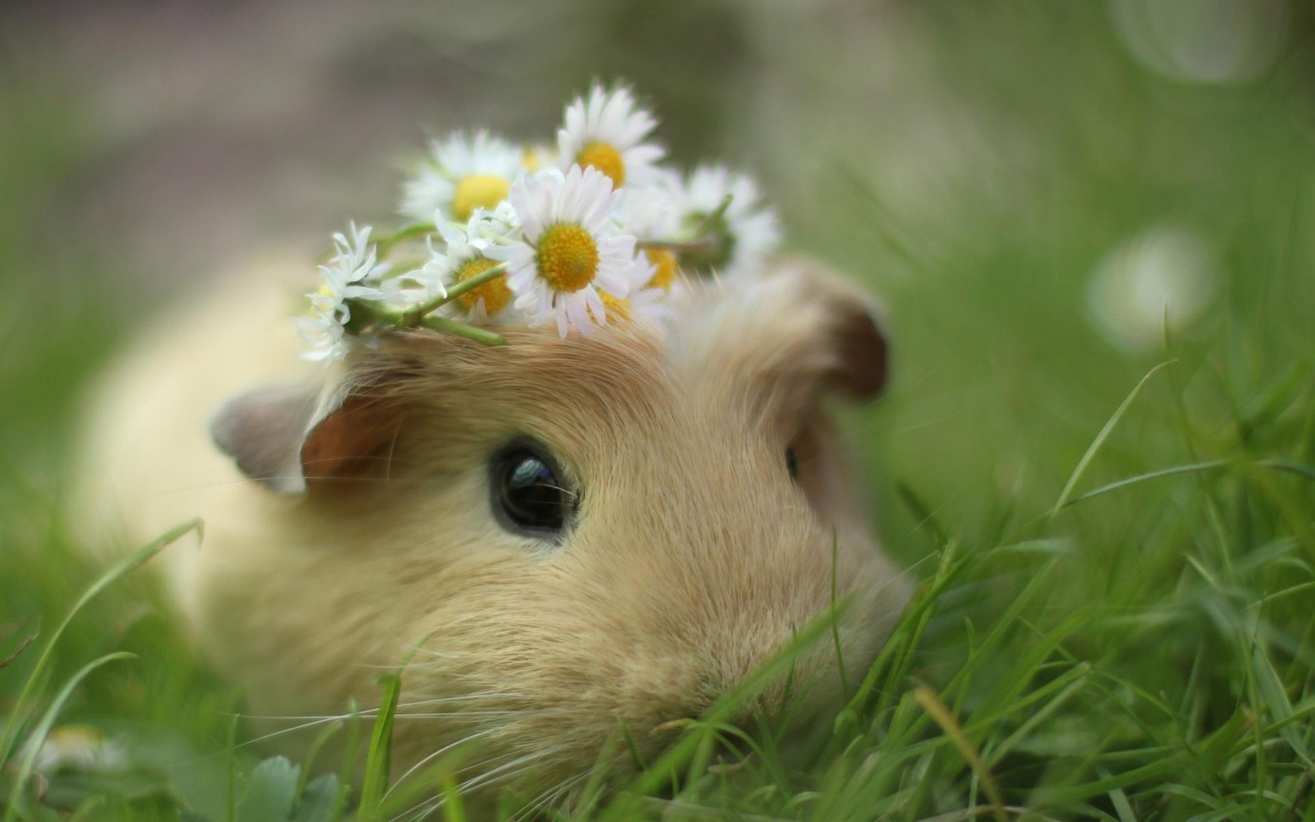 天竺鼠好养吗_喜欢养天竺鼠的朋友们在哪里!