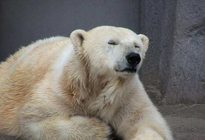 小憩的北极熊吃果泥的蜥蜴图片