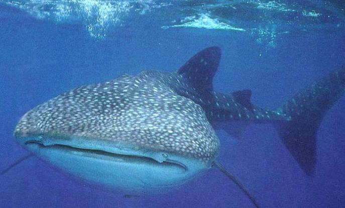 宠物频道 动物图片   鲨鱼是海洋中的一种鱼类,很大一只,也非常的凶猛