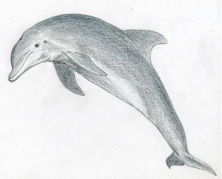 阅读频道 简笔画  海豚是大海中一种大型哺乳动物,可爱又很温柔,描绘