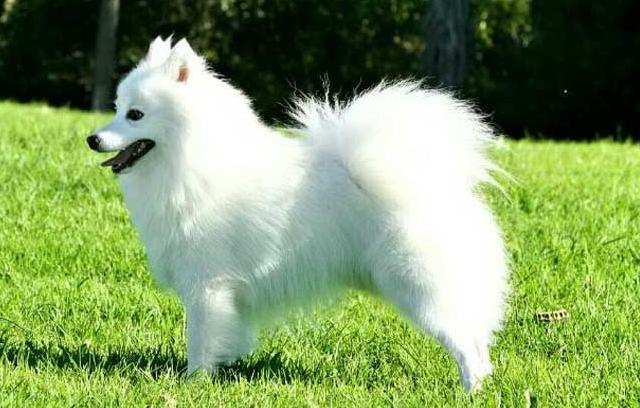 银狐犬图片 -动物图片